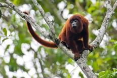 Por que o Brasil não vacina os macacos contra a febre amarela?