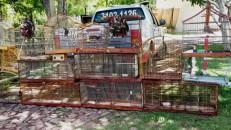 Polícia apreende cerca de 50 aves silvestres em Barbalha e devolve à natureza