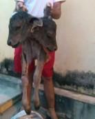 Bezerro nasce com duas cabeças e assusta moradores da zona rural de Caririaçu