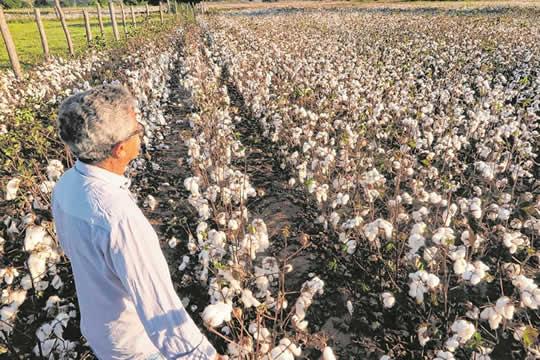Cultura do algodão é retomada com boa estimativa de colheita no Ceará