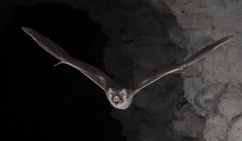 Estudo aponta relação de 96,2% entre novo coronavírus e morcego-ferradura