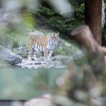 Tigre mata cuidadora na frente de visitantes em zoológico de Zurique