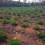 PM descobre plantio de maconha irrigado no Cariri