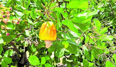 Pesquisa triplica a produtividade da plantação de cajueiro-anão no Ceará