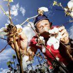 Fiscalização da Adagri notifica 18 produtores de algodão por desrespeito ao vazio sanitário, no Cariri