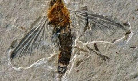 Fóssil descoberto no Cariri revela inseto raro que viveu há mais de 100 milhões de anos