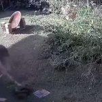 Mulher briga com cobra píton para salvar filhote de cachorro