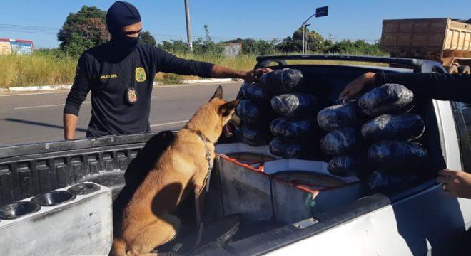 E tome mais drogas em Juazeiro na ação da Polícia Civil e o seu cão farejador
