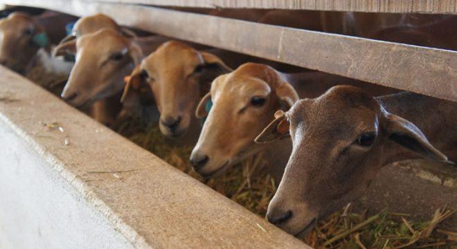 Estudo aponta que 8 municípios do Ceará possuem rebanhos ovinos infectados por brucelose